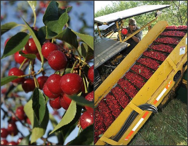 Tart Cherry Harvest